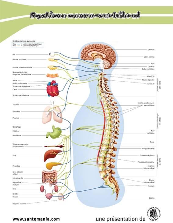 La graisse de cheval la hernie intervertébrale